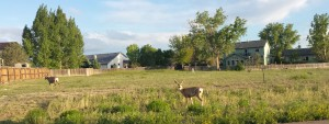 Deer are are all around in Pueblo West